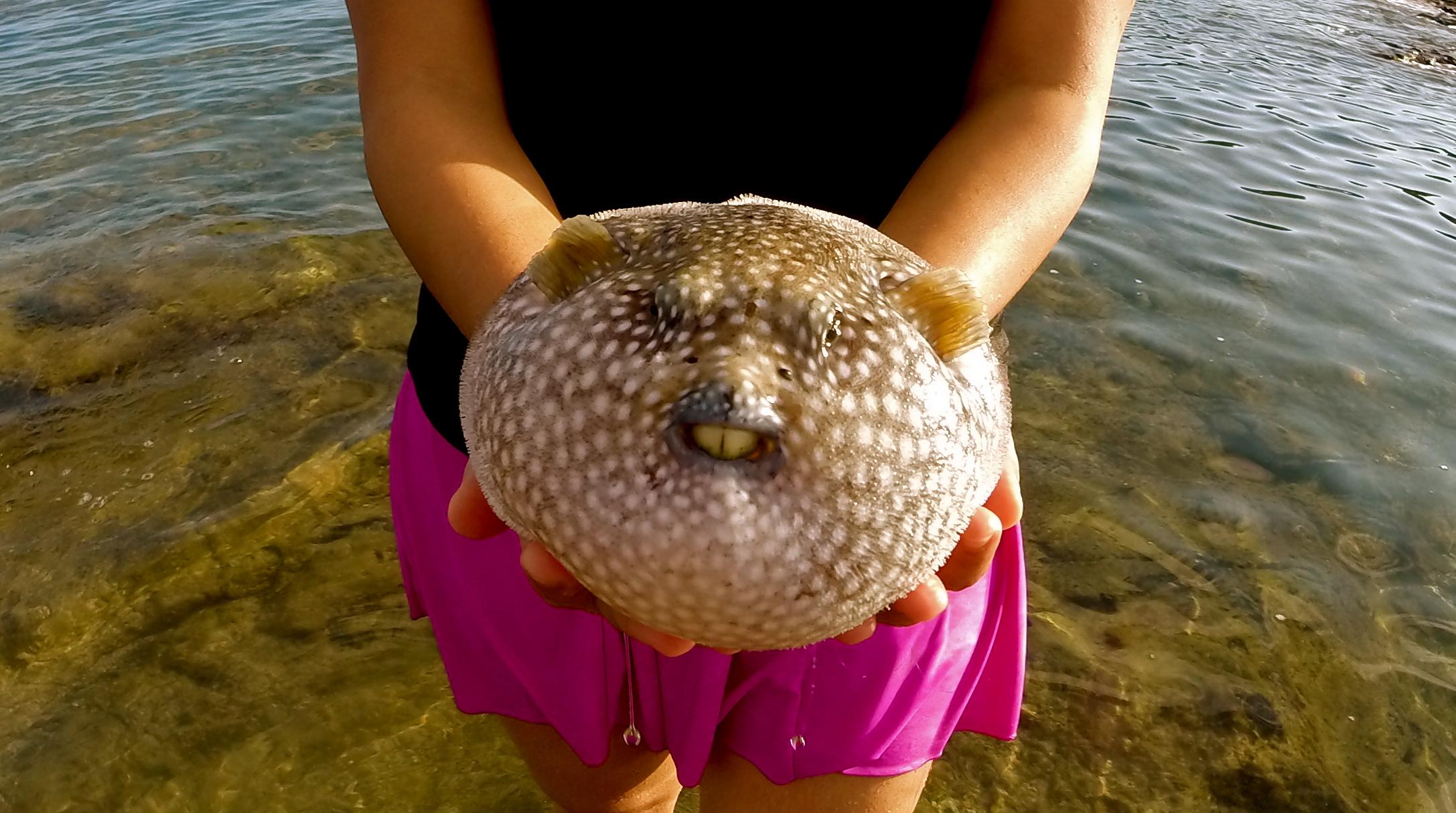 Costa Rica wildlife, puffer fish